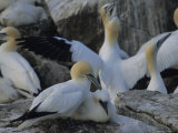 Northern Gannets and Chicks Roost on Cliffs Above the Atlantic Ocean