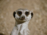 Portrait of a Captive Meerkat