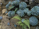 Sempervivums and Ferns Grow from a Wall of Rock