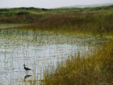 Beach Grass and an American Avocet on the Shore of Sable Island