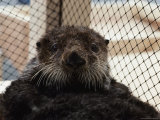 Portrait of a Sea Otter (Enhydra Lutris) Rescued after the Exxon Oil Spill in Prince William Sound