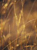 Delicate Blades of Grass Backlit in Morning Light
