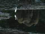 Reflections of Forest Elephants and an Egret in Langoue Bai Water