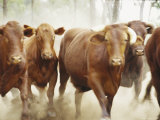 A Herd of Santa Gerturti Cattle Raise Dust During a Stampede