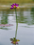 A Water Lily Bloom in an Australian Billabong