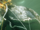 A Humpback Whale with Its Tail Tangled in a Cod Fishermans Nets