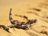 A Thorny Devil (Moloch Horridus) on Sand