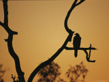 A Silhouetted Whistling Kite Perched in a Dead Tree at Sunset