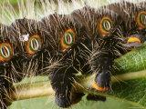 Detail of Feet and Breathing Spiracles of an Imperial Moth Caterpillar