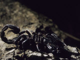 A Scorpion on a Rock in a Borneo Cave