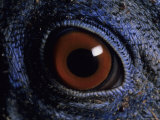 A Close View of the Eye of a Species of Bornean Pheasant