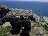 Tourists Gaze at Flocks of Northern Gannets Roosting on Cliffs