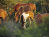 Wild Ponies and Foal Graze on Tender Grasses