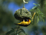 A Weaverbird Hangs Upside Down as It Builds Its Nest in a Mimosa Tree