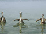 Three Brown Pelicans  Pelecanus Occidentalis  in the Water