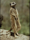 A Captive Meerkat Stands Tall as It Keeps Watch for Danger