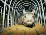 A Critically Endangered Northern Hairy-Nosed Wombat in a Cage