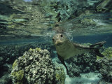 Hawaiian Monk Seal in a Coral Sea Reef  French Frigate Shoals  Hawaiian Islands