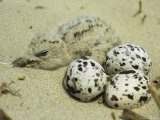 A Black Skimmer Chick and a Trio of Eggs in a Sandy Nest