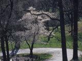 Springtime Blossoms Highlight Arlington National Cemetery