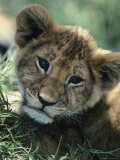 Portrait of an African Lion Cub
