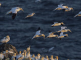 Flocks of Northern Gannets Roost on Cliffs Above the Atlantic Ocean