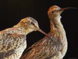 Extinct Eskimo Curlews in an Exhibit