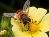 Drone Fly  Earistalis Species  a Honey Bee Mimic  Feeding on Nectar