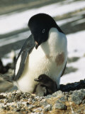 An Adelie Penguin and Its Chick