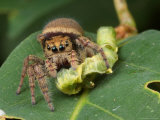 A Jumping Spider  Phidippus Species  Feeding on a Caterpillar