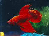 A Red Siamese Fighting Fish in an Aquarium