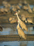 Sandhill Cranes Bask in the Sun in the Platte River