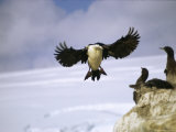 A Double-Crested Cormorant Flies to Its Nest of Waiting Chicks