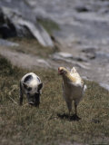 A Pig and Chicken Walk on the Slope of a Hill