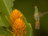 Hummingbird Hovers Above Orange Flower  Frontal View  Wings Extended