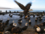 Flock of American Bald Eagles on Beach (Haliaeetus Leucocephalus)