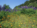 A Hillside Blanketed in Colorful Blooming Wildflowers