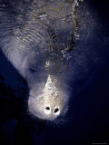 The Face of a Manatee in the Wild in the Homosassa River