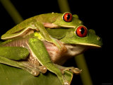 Pair of Red-Eyed Tree Frogs (Agalychnis Callidryas) in Amplexis