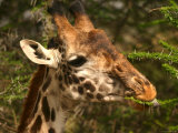 Close-up of a Masai Giraffe Nibbling on an Acacia Tree (Giraffa Camelopardalis)