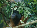 Orangutan During a Rain Shower  Gunung Palung National Park  Borneo Island