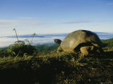 Giant Galapagos Tortoise near the Rim of the Alcedo Volcano  Galapagos Islands