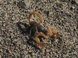 Scorpion Flexing its Stinger  Death Valley National Monument  California