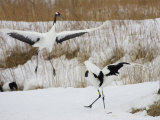 Pair of Japanese Red-Crowned Cranes in Mating Dance (Grus Japonensis)