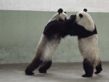 Two Giant Pandas Play Wrestle in Their Pen  Chengdu Zoo  Sichuan Province  China