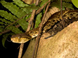 Fer-De-Lance (Bothrops Asper) Pit Viper on Rock with Tongue Out