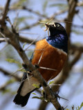 A Superb Starling with a Grasshopper in Its Mouth (Lamprotornis Superbus)