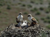 Mother and Father Ferruginous Hawk Sit in Their Nest near the Snake River  Idaho
