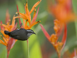 Bananaquit (Coereba Flaveola) Perched on Orange Heliconia Flower