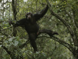 Male Chimp in a Tree near Gombe  Gombe Stream National Park  Tanzania